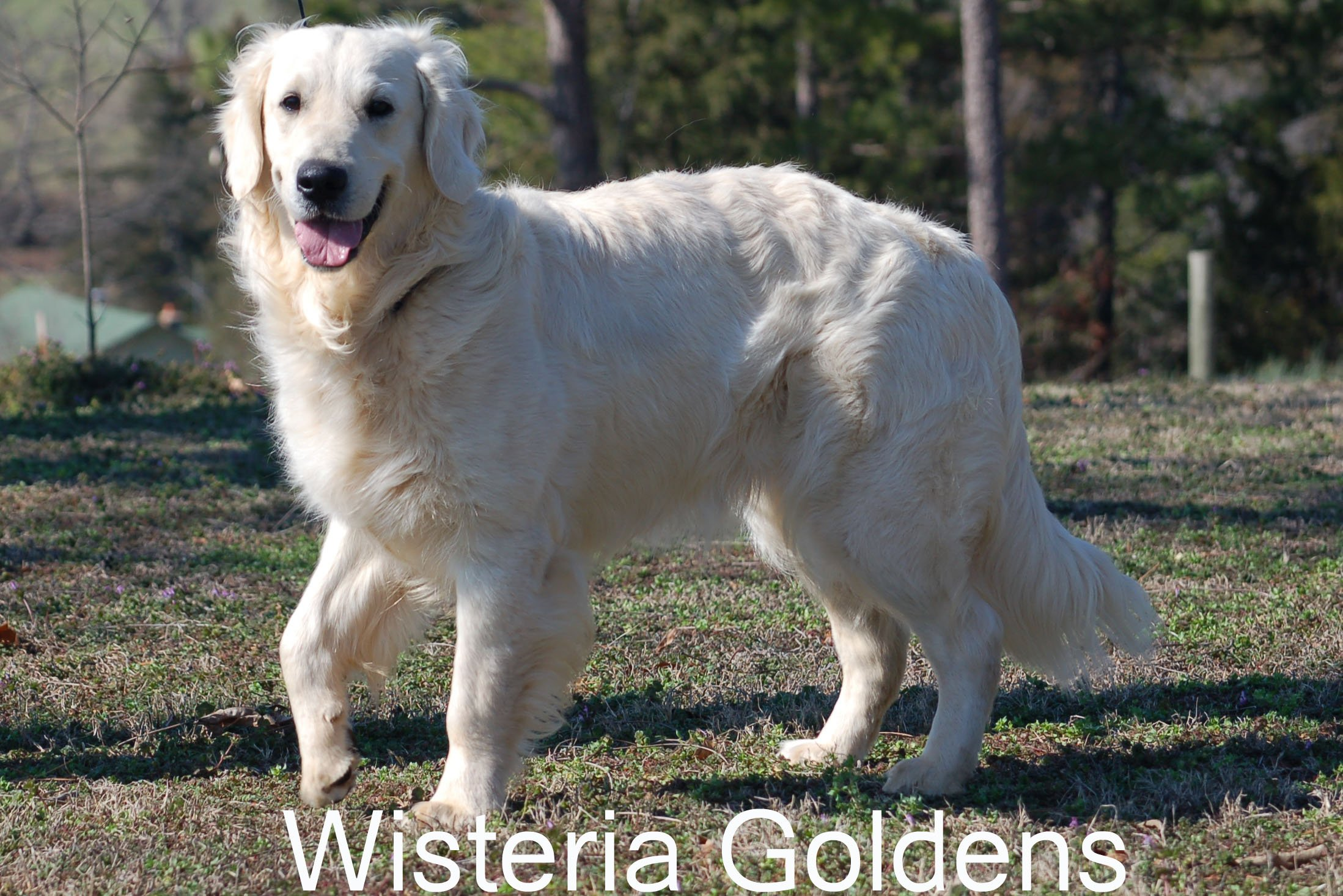Tru_0529-Tru-full-english-cream-golden-retriever-wisteria-goldens.JPG