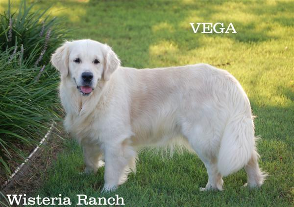 Vega-1-vega-full-english-creme-goldens-retriever-wisteria-goldens
