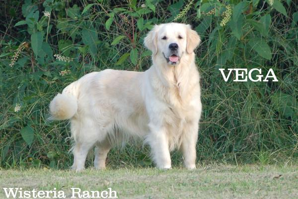 Vega-5-vega-full-english-creme-goldens-retriever-wisteria-goldens