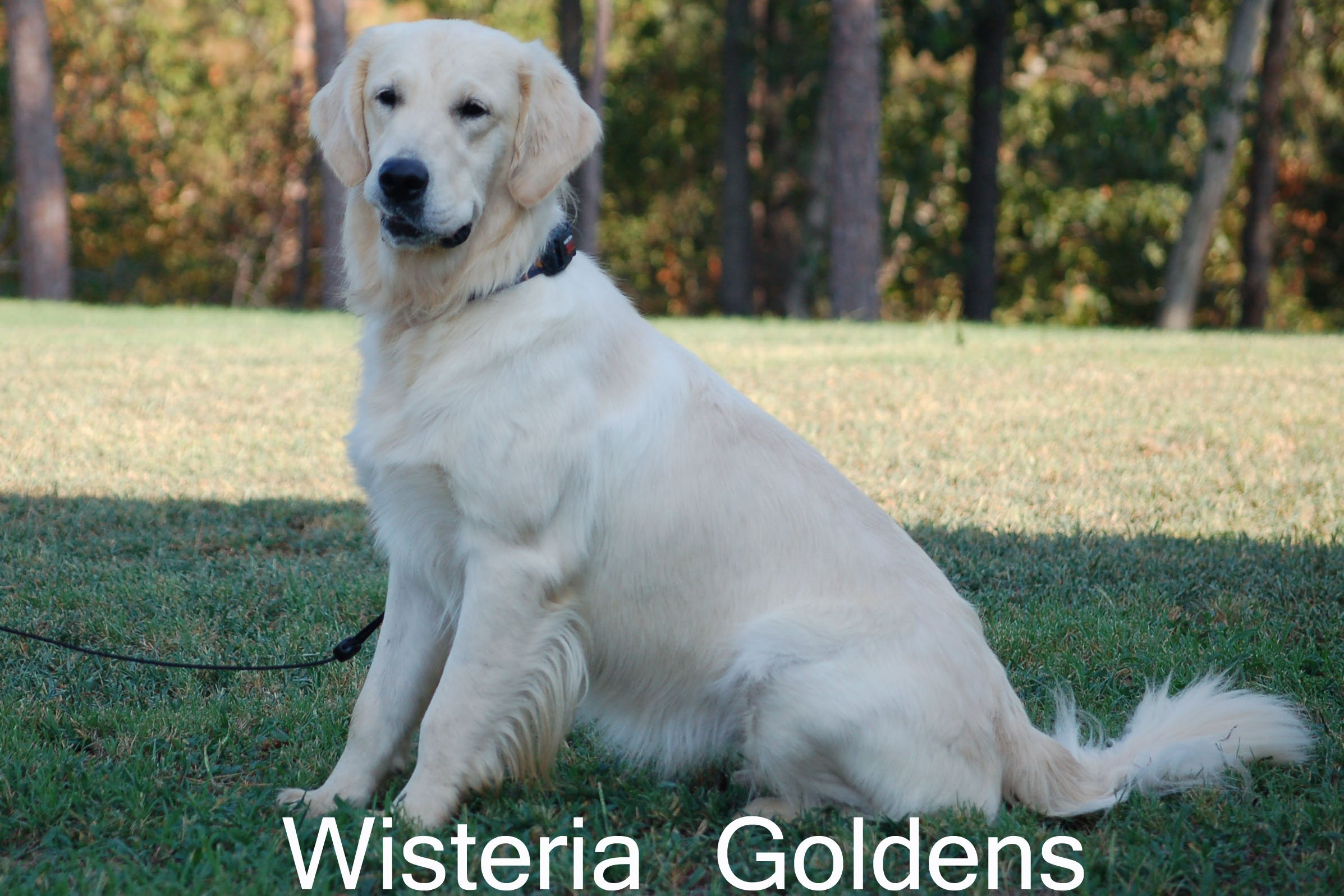 Violet-0300-violet-full-english-cream-golden-retriever-wisteria-goldens