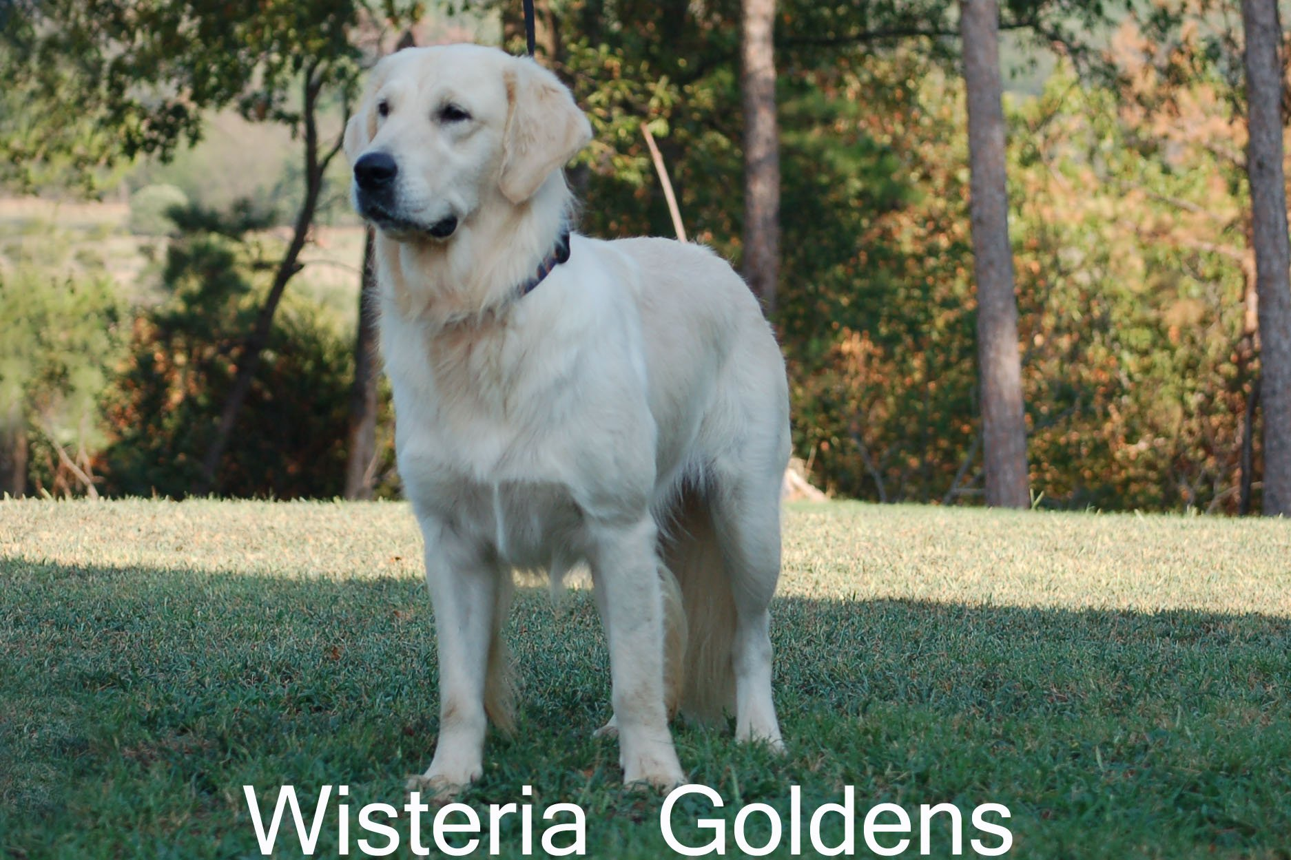 Violet-0325-violet-full-english-cream-golden-retriever-wisteria-goldens