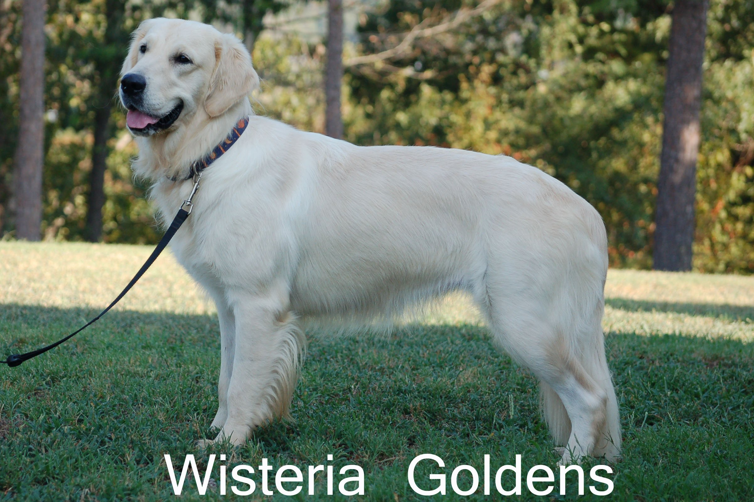 Violet-0330-violet-full-english-cream-golden-retriever-wisteria-goldens
