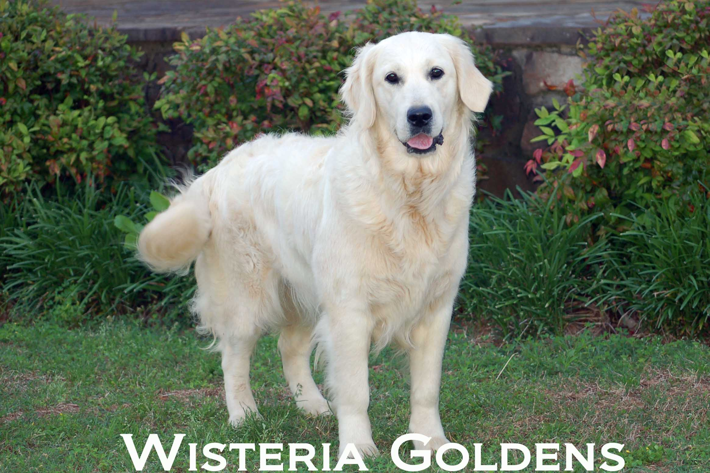 Zoey-0012-zoey-full-english-creme-golden-retriever-wisteria-goldens