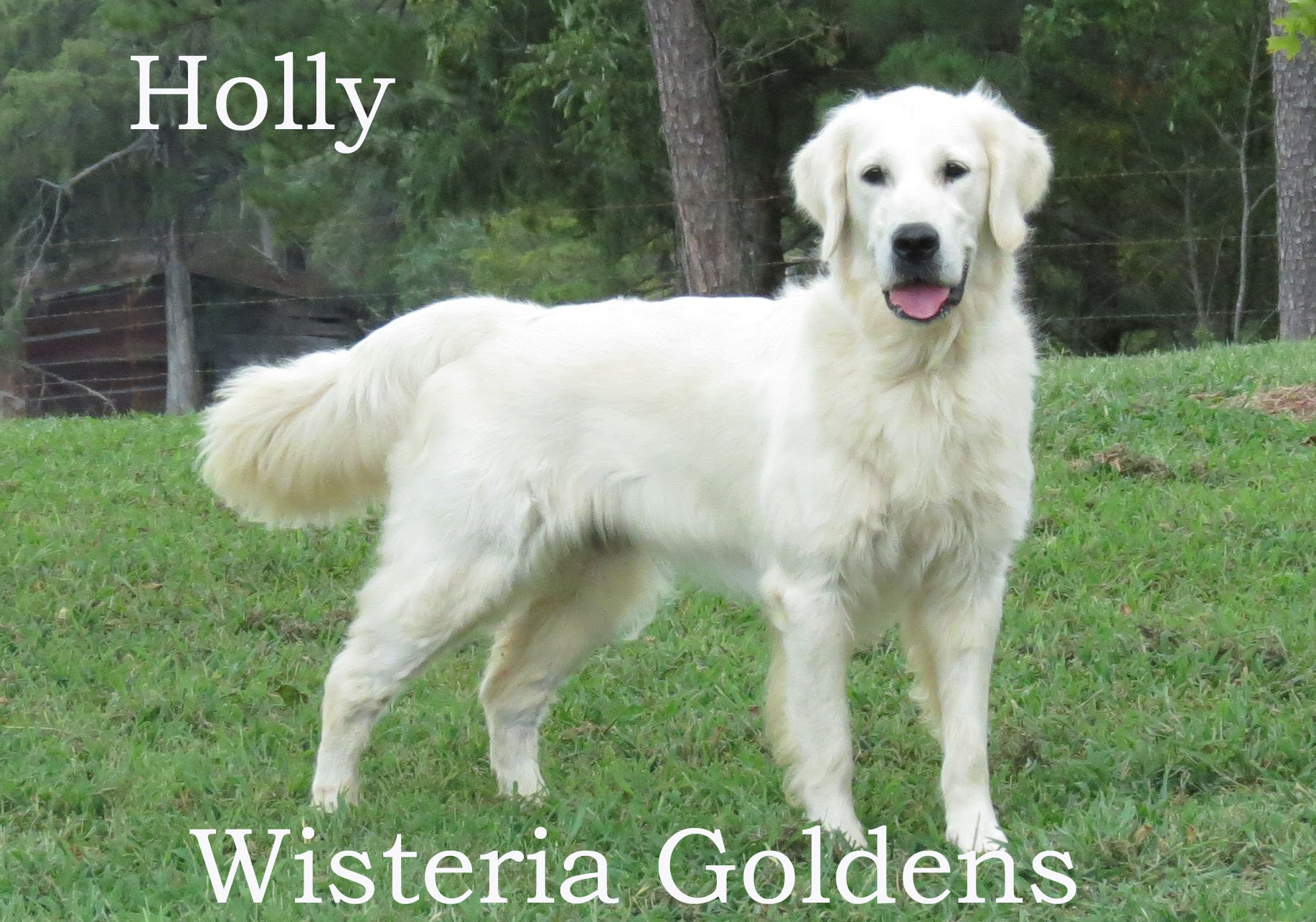 holly-full-english-creme-golden-retriever-wisteria-goldens_0004_1