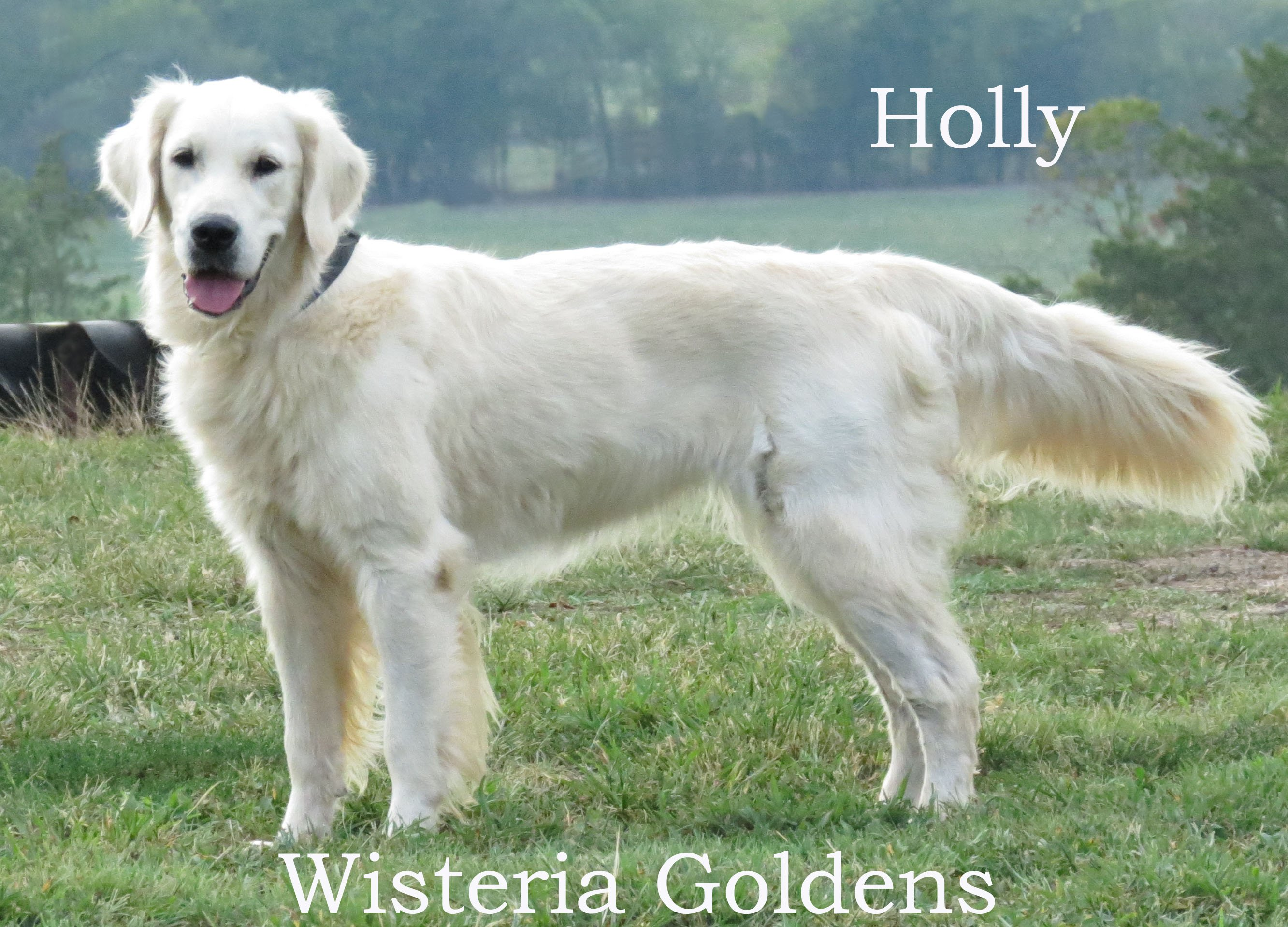 holly-full-english-creme-golden-retriever-wisteria-goldens_0005_1