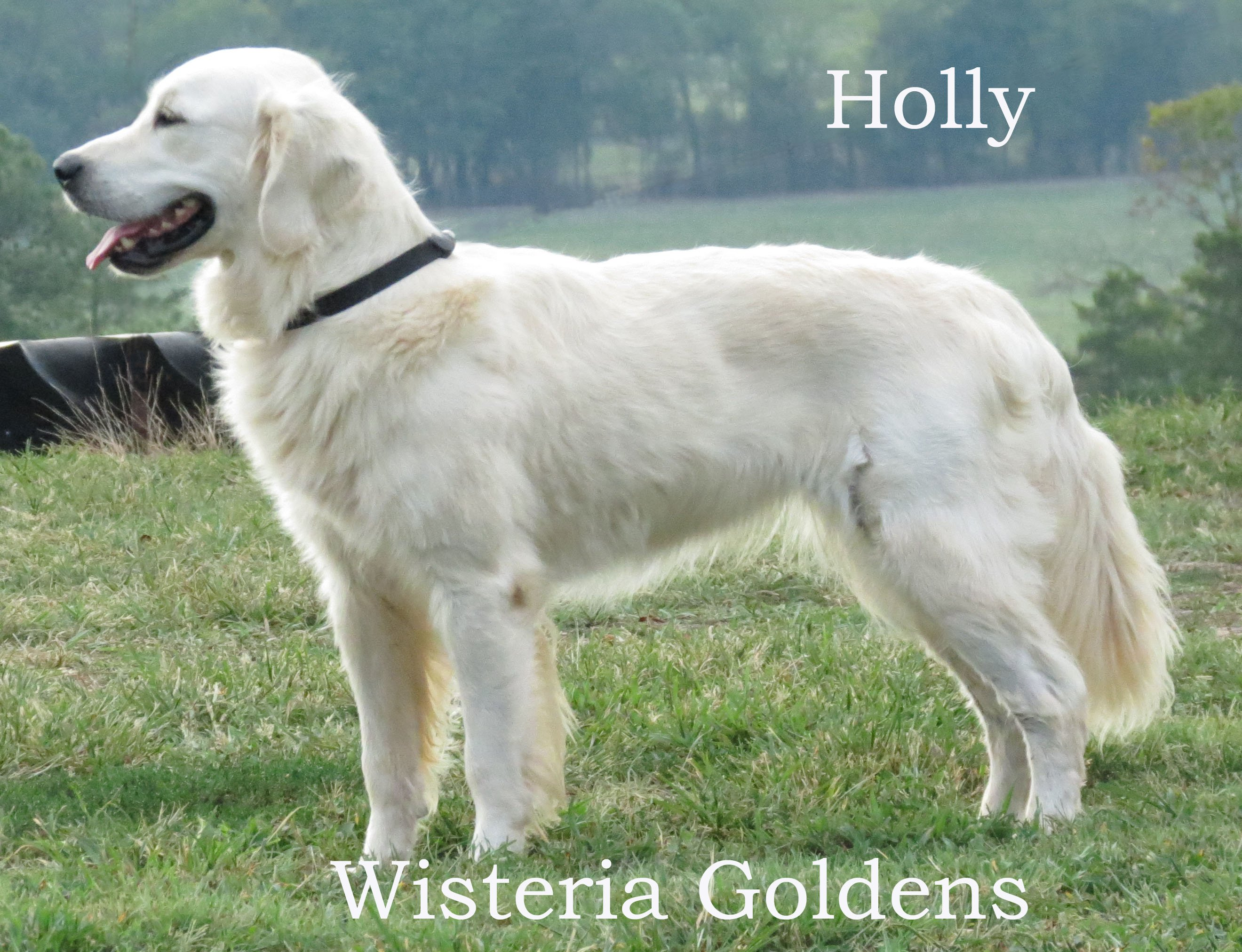 holly-full-english-creme-golden-retriever-wisteria-goldens_0006_1