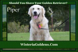 should you shave your golden