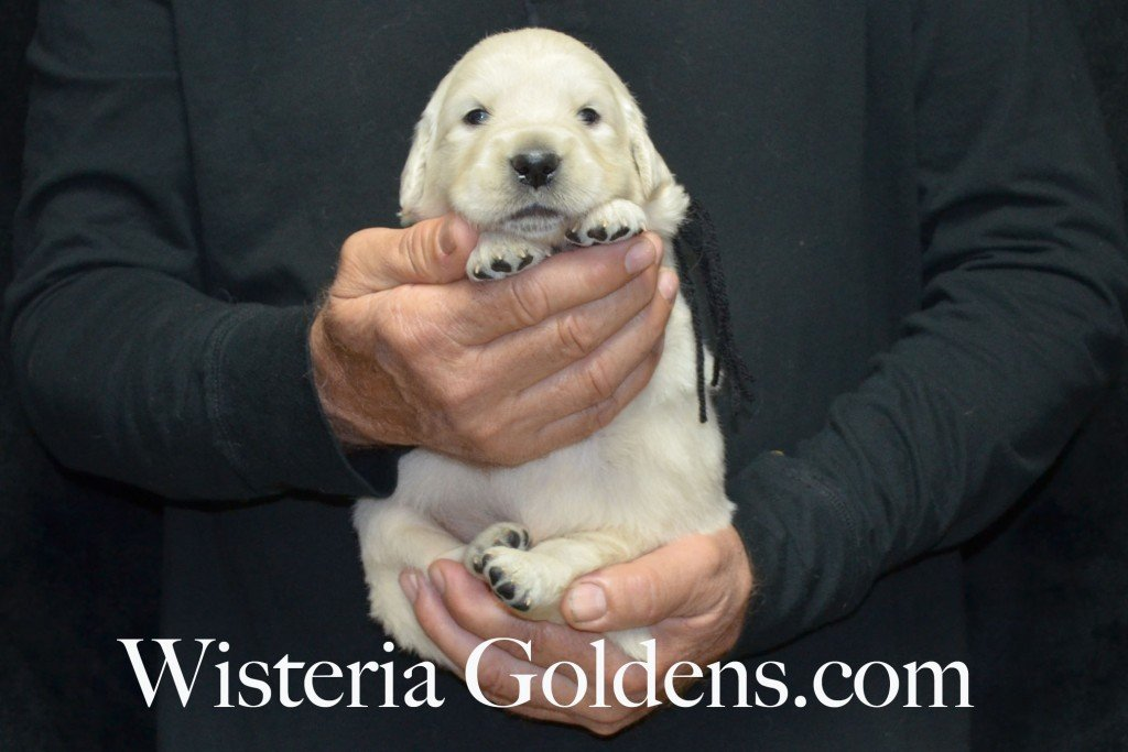 Black Boy - 4.6 lbs Angel/Ego — Born 4/27/2015. 2 girls and 4 boys. English Cream Golden Retriever puppies for sale and their availability, upcoming anticipated litters, our contract and guarantee, information for new owners, and how to contact us for purchasing your own Wisteria Golden English Cream Golden Retriever puppy!