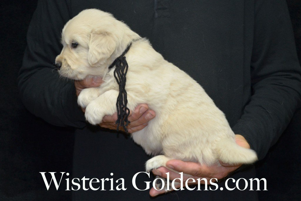 Black Boy - 5.4 lbs 4 Weeks pictures. Angel/Ego — Born 4/27/2015. 2 girls and 4 boys. English Cream Golden Retriever puppies for sale. Check availability at WisteriaGoldens.com