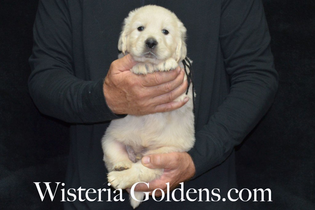 Black Boy - 7.0 lbs Angel/Ego born 4/27/2015 English Cream Golden Retriever puppies for sale WisteriaGoldenscom