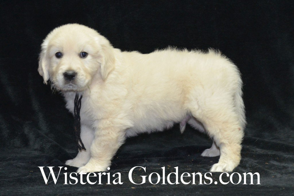 Black Boy 6 weeks Angel-Ego born 4-27-2015 2 girls and 4 boys. English Cream Golden Retriever Puppies. Black Boy is sweet, affectionate boy that loves to cuddle.  He is playful and outgoing.  He has a nice square head and light in color with a touch of ivory.  He has mid-range energy level.  He weighs 8.4 lbs.