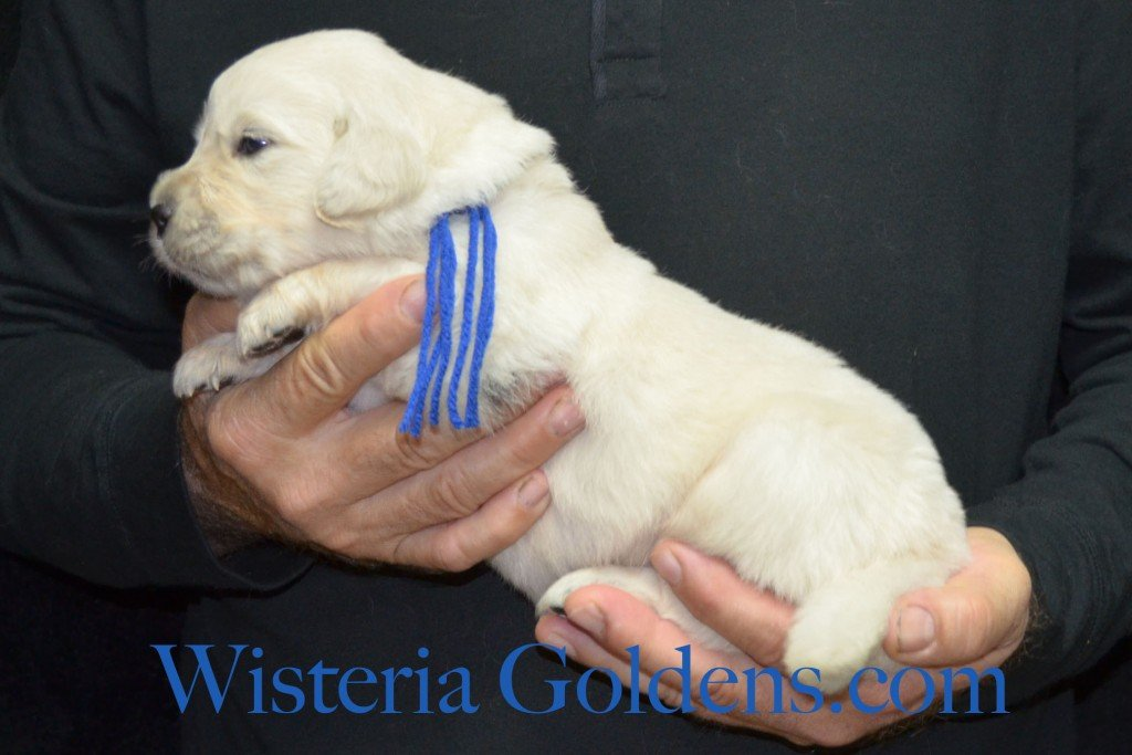 Blue Boy - 4.2 lbs Angel/Ego — Born 4/27/2015. 2 girls and 4 boys. English Cream Golden Retriever puppies for sale and their availability, upcoming anticipated litters, our contract and guarantee, information for new owners, and how to contact us for purchasing your own Wisteria Golden English Cream Golden Retriever puppy!