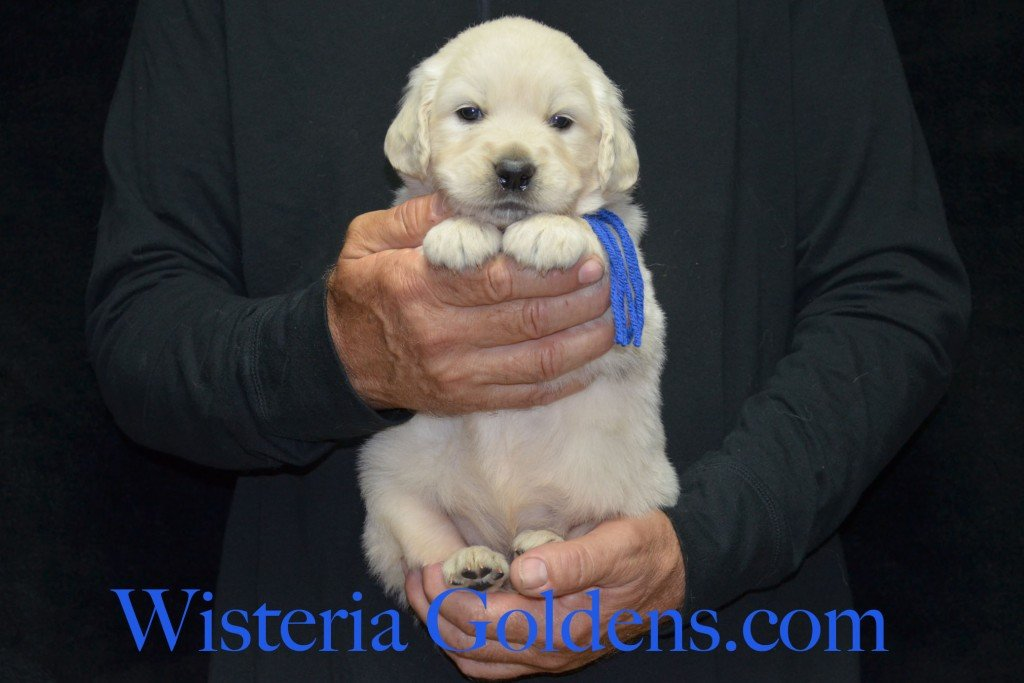 Blue Boy - 5.4 lbs 4 Weeks pictures. Angel/Ego — Born 4/27/2015. 2 girls and 4 boys. English Cream Golden Retriever puppies for sale. Check availability at WisteriaGoldens.com