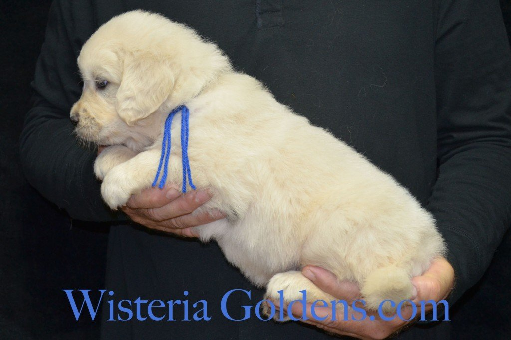Blue Boy - 7.0 lbs Angel/Ego born 4/27/2015 English Cream Golden Retriever puppies for sale WisteriaGoldenscom