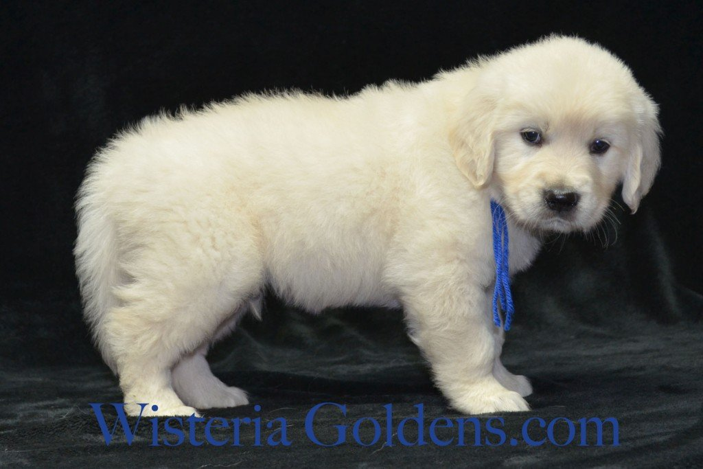 Blue Boy 6 weeks Angel-Ego born 4-27-2015 2 girls and 4 boys. English Cream Golden Retriever Puppies. Blue Boy is a soft sweet boy.  He is affectionate, loves to play, enjoys his toys, and loves to be with you.  He has nice square head and light in color.  He is the smallest boy and has a black tuff of hair on the back of his left front elbow.  He weighs 8.0 lbs.