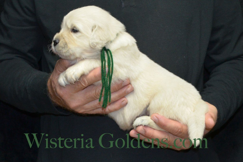Green Boy - 4.4 lbs Angel/Ego — Born 4/27/2015. 2 girls and 4 boys. English Cream Golden Retriever puppies for sale and their availability, upcoming anticipated litters, our contract and guarantee, information for new owners, and how to contact us for purchasing your own Wisteria Golden English Cream Golden Retriever puppy!