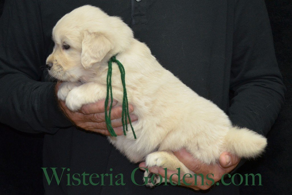Green Boy - 5.4 lbs 4 Weeks pictures. Angel/Ego — Born 4/27/2015. 2 girls and 4 boys. English Cream Golden Retriever puppies for sale. Check availability at WisteriaGoldens.com