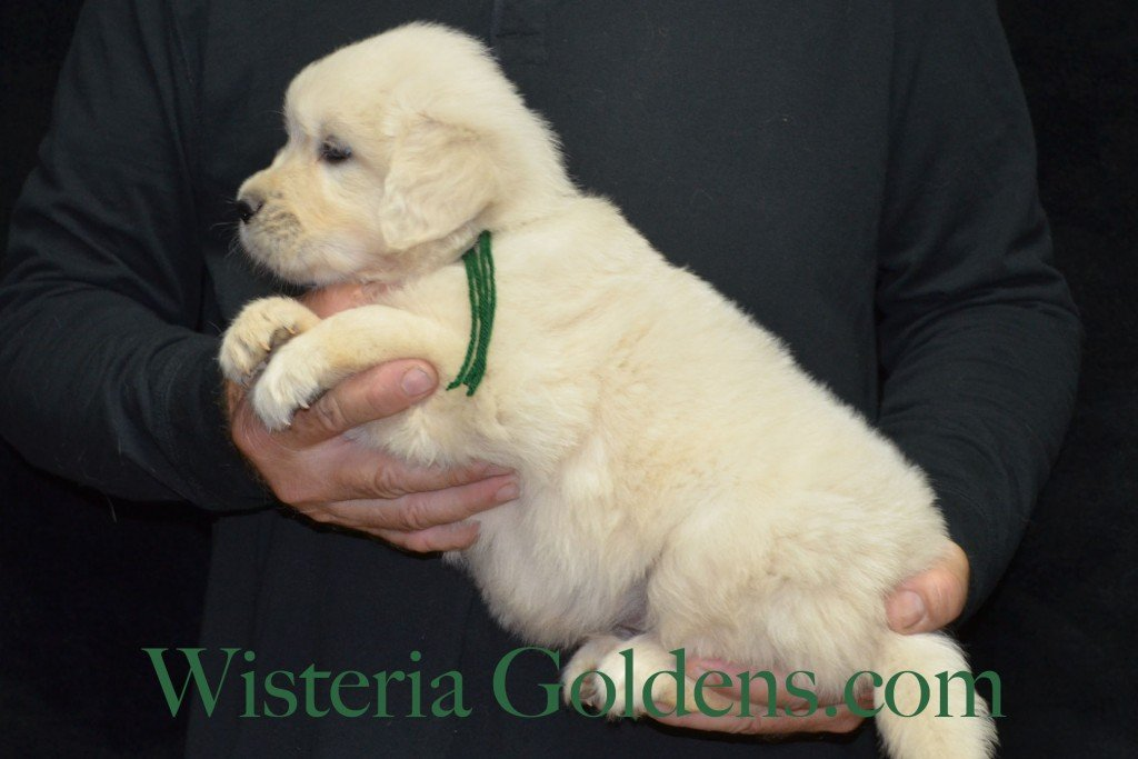 Green Boy - 7.0 lbs Angel/Ego born 4/27/2015 English Cream Golden Retriever puppies for sale WisteriaGoldenscom