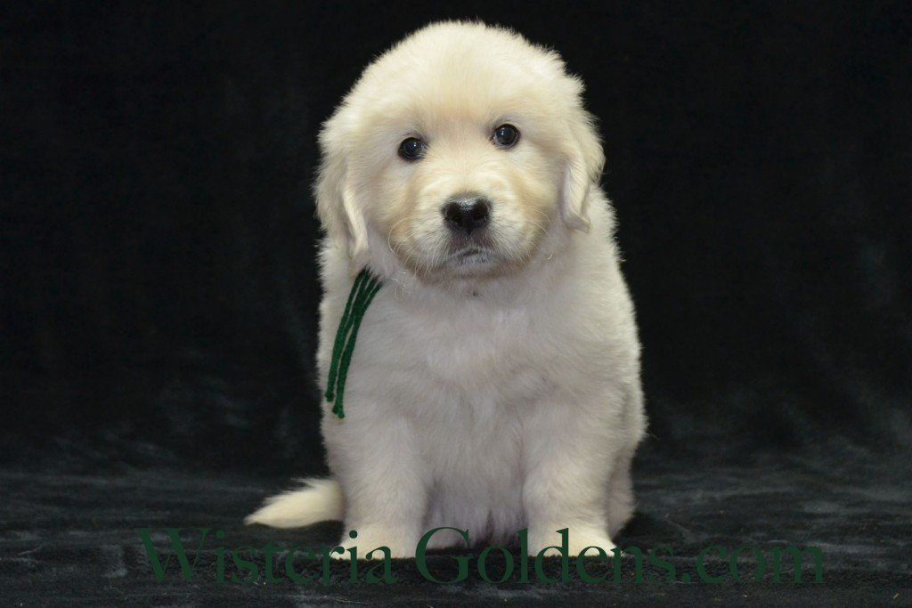 Green Boy 6 weeks Angel-Ego born 4-27-2015 2 girls and 4 boys. English Cream Golden Retriever Puppies. Green Boy is fun, sweet boy who loves to explore.  He is affectionate, loves chasing leaves and toys.  He loves to cuddle up next to you when he goes to sleep.  He has a nice blocky head, light in color.  He has a mid-range energy level.  He weighs 8.4 lbs.