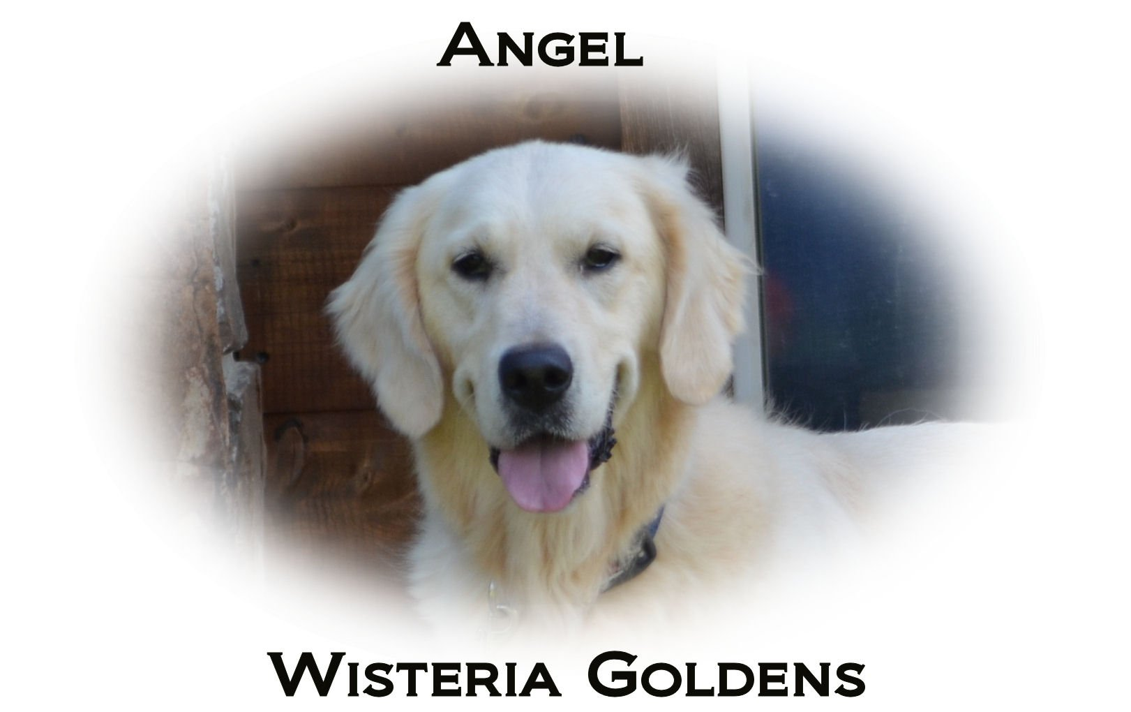 Angel-HS-faith-full-english-creme-golden-retriever-wisteria-goldens