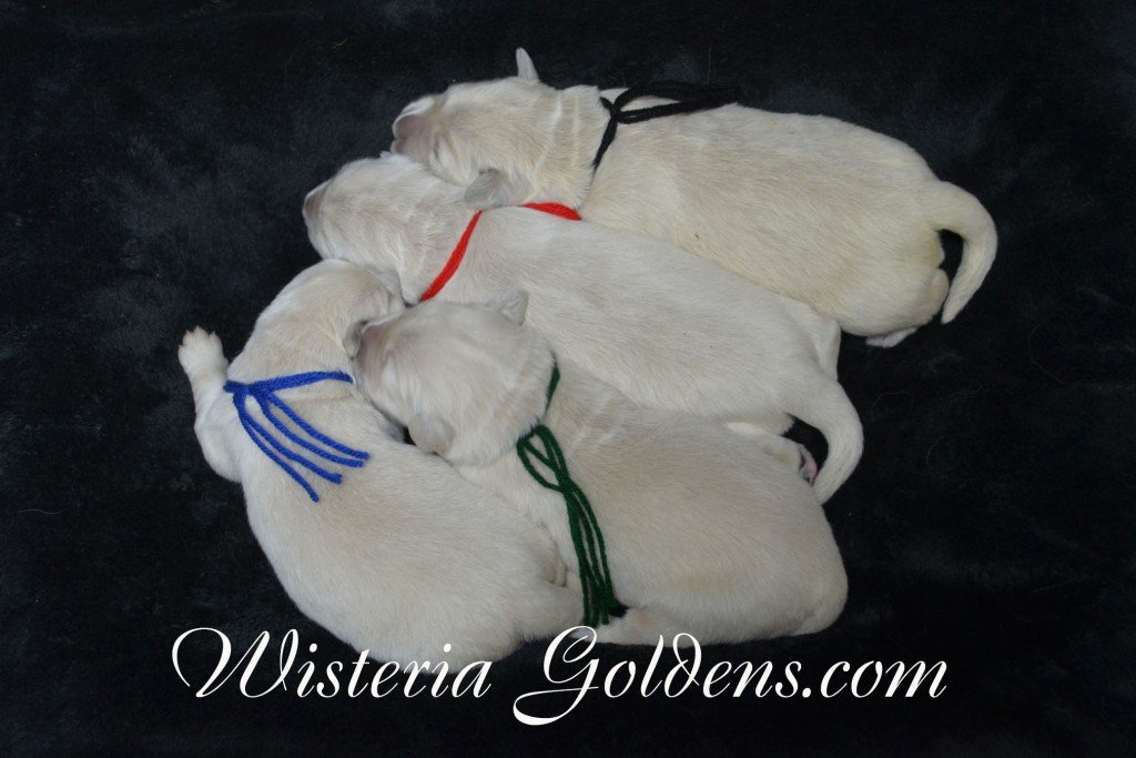 Angel Litter Angel Ego Litter born 4-27-2015 2 girls and 4 boys. English Cream Golden Retriever Puppies for sale. WisteriaGoldens.com The boys