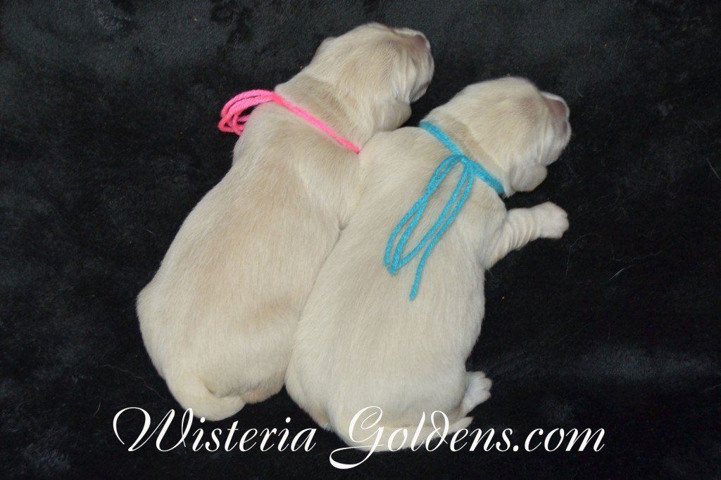 Angel Litter Angel Ego Litter born 4-27-2015 2 girls and 4 boys. English Cream Golden Retriever Puppies for sale. WisteriaGoldens.com the Girls