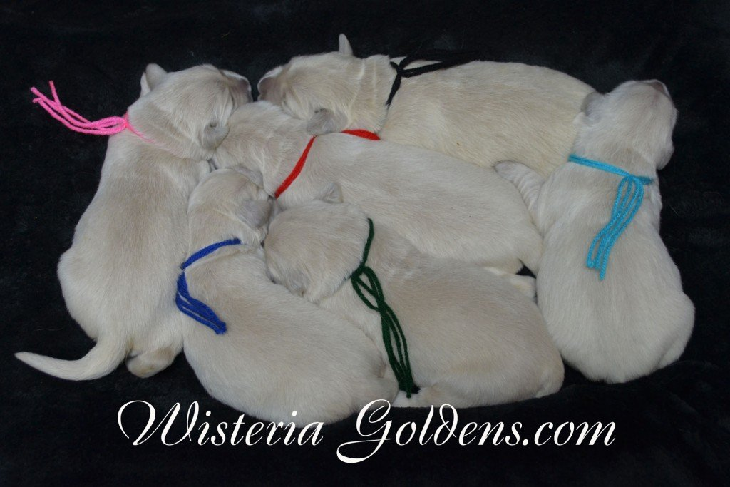 Angel Litter Angel Ego Litter born 4-27-2015 2 girls and 4 boys. English Cream Golden Retriever Puppies for sale. WisteriaGoldens.com the Group