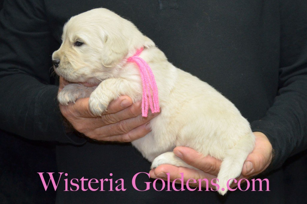 Pink Girl - 4.2 lbs Angel/Ego — Born 4/27/2015. 2 girls and 4 boys. English Cream Golden Retriever puppies for sale and their availability, upcoming anticipated litters, our contract and guarantee, information for new owners, and how to contact us for purchasing your own Wisteria Golden English Cream Golden Retriever puppy!