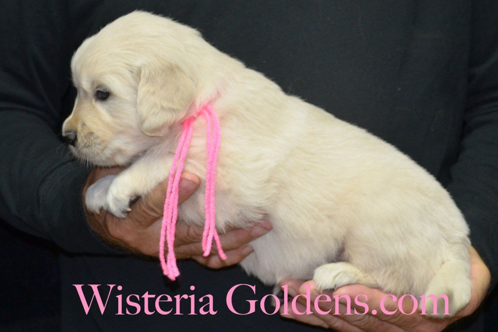 Pink Girl - 5.4 lbs 4 Weeks pictures. Angel/Ego — Born 4/27/2015. 2 girls and 4 boys. English Cream Golden Retriever puppies for sale. Check availability at WisteriaGoldens.com