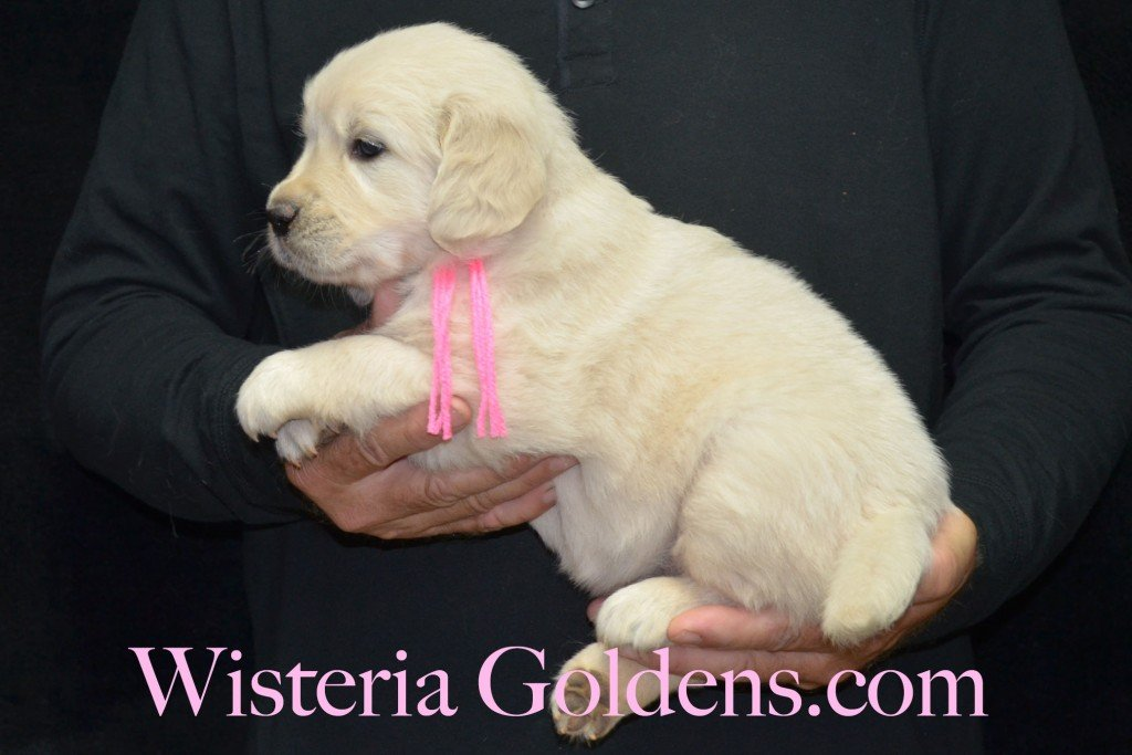 Pink Girl - 7.2 lbs Angel/Ego born 4/27/2015 English Cream Golden Retriever puppies for sale WisteriaGoldenscom