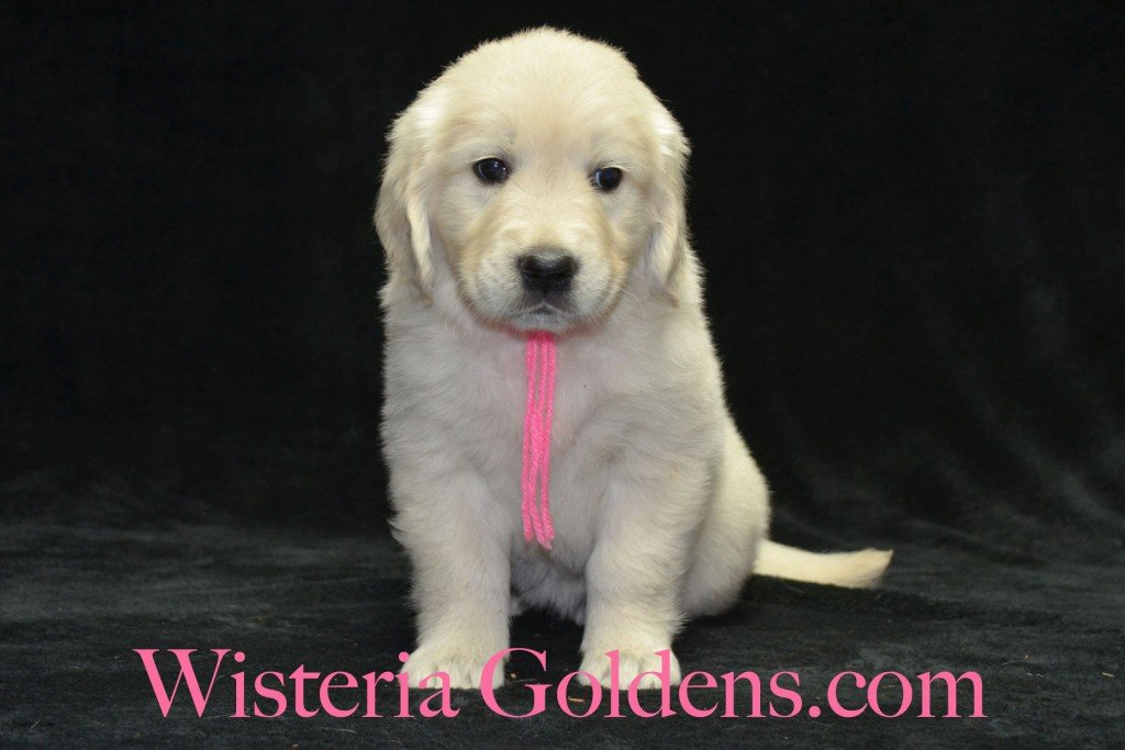 Pink Girl 6 weeks Angel-Ego born 4-27-2015 2 girls and 4 boys. English Cream Golden Retriever Puppies. Pink Girl is a sweet affectionate girl.  She is a playful girl that enjoys her toys.  She loves to be with you.  She has a nice square head and light in color.  She has mid-range energy.  She weighs 8.6 lbs