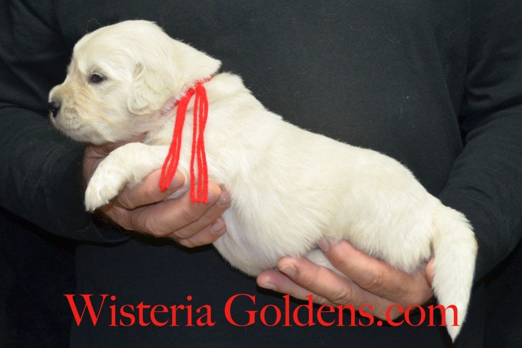 Red Boy - 4.4 lbs Angel/Ego — Born 4/27/2015. 2 girls and 4 boys. English Cream Golden Retriever puppies for sale and their availability, upcoming anticipated litters, our contract and guarantee, information for new owners, and how to contact us for purchasing your own Wisteria Golden English Cream Golden Retriever puppy!