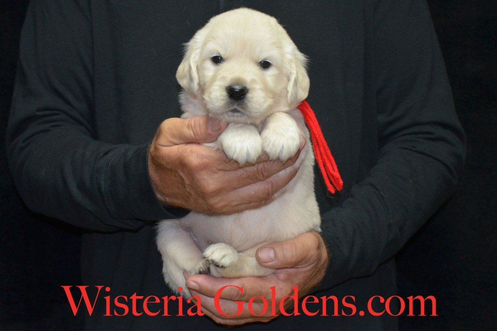 Red Boy - 5.6 lbs 4 Weeks pictures. Angel/Ego — Born 4/27/2015. 2 girls and 4 boys. English Cream Golden Retriever puppies for sale. Check availability at WisteriaGoldens.com