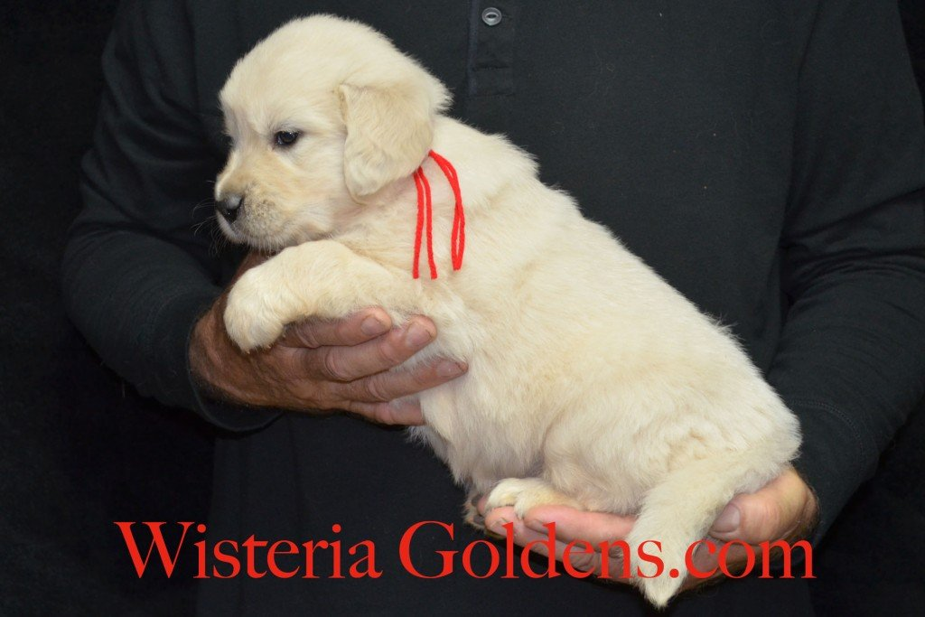 Red Boy - 7.4 lbs Angel/Ego born 4/27/2015 English Cream Golden Retriever puppies for sale WisteriaGoldenscom