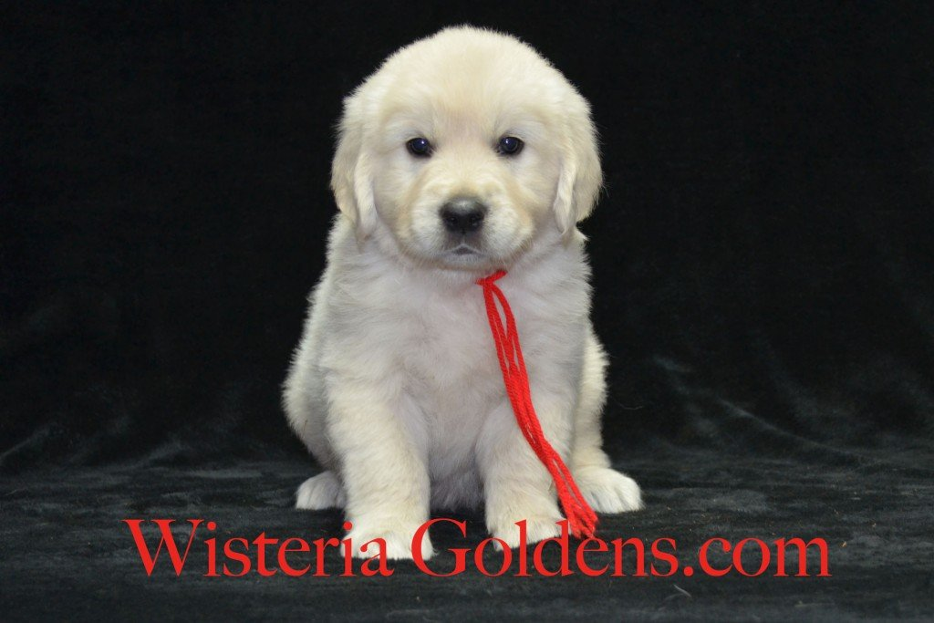 Red Boy 6 weeks Angel-Ego born 4-27-2015 2 girls and 4 boys. English Cream Golden Retriever Puppies. Red Boy is an outgoing, affectionate, very people oriented boy that LOVES to be with you.  He is playful and full of fun.  He is the biggest boy, has a nice blocky head and is light in color.  He has mid-range energy level.  He weighs 9.2 lbs.