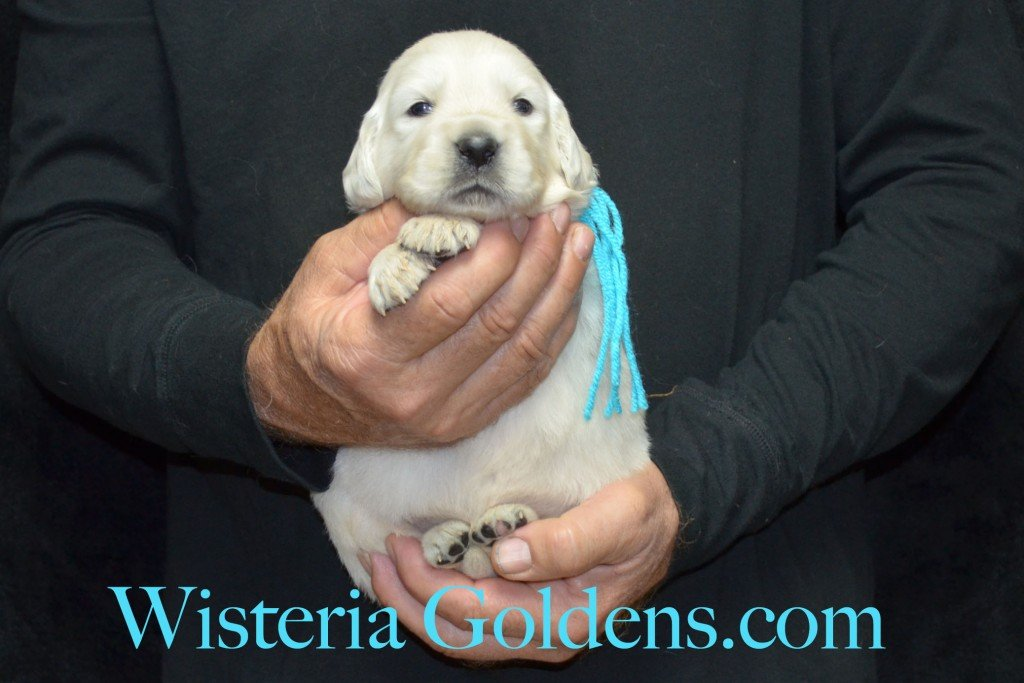 Teal Girl - 4.0 lbs Angel/Ego — Born 4/27/2015. 2 girls and 4 boys. English Cream Golden Retriever puppies for sale and their availability, upcoming anticipated litters, our contract and guarantee, information for new owners, and how to contact us for purchasing your own Wisteria Golden English Cream Golden Retriever puppy!