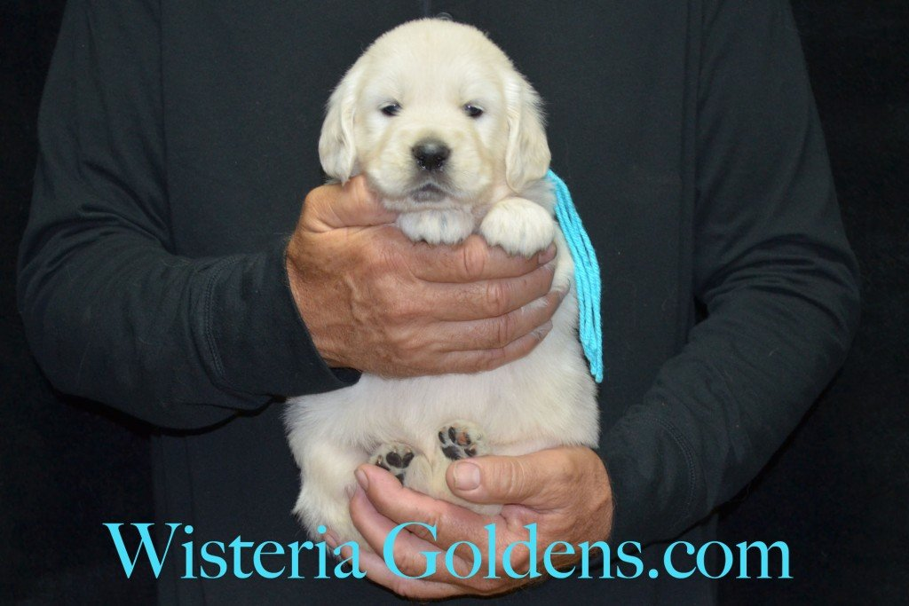 Teal Girl - 5.4 lbs 4 Weeks pictures. Angel/Ego — Born 4/27/2015. 2 girls and 4 boys. English Cream Golden Retriever puppies for sale. Check availability at WisteriaGoldens.com