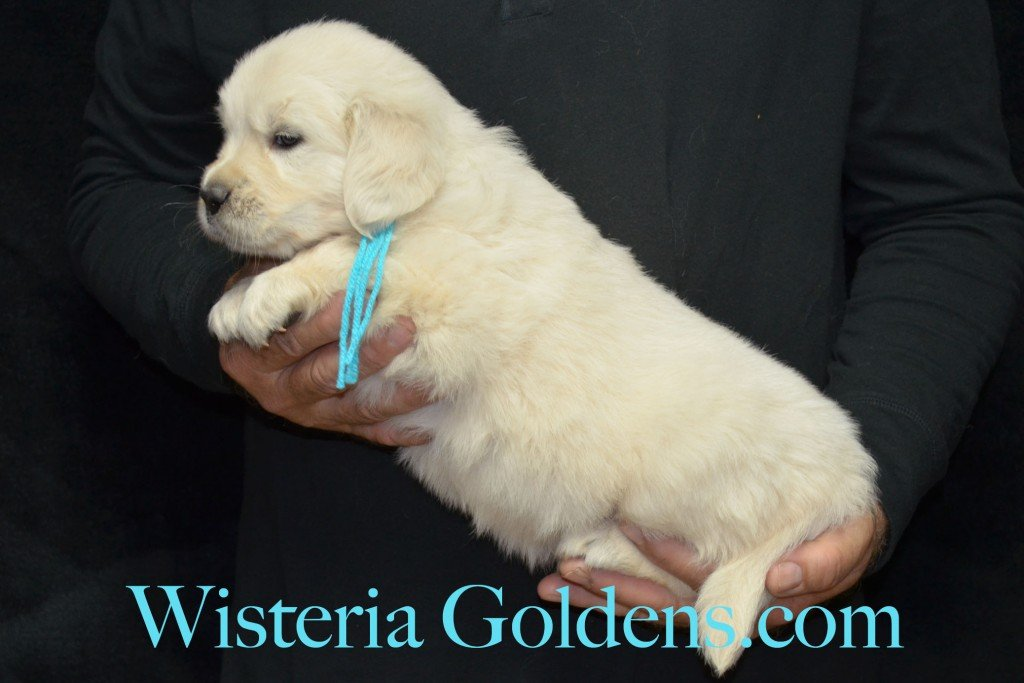 Teal Girl - 7.2 lbs Angel/Ego born 4/27/2015 English Cream Golden Retriever puppies for sale WisteriaGoldenscom