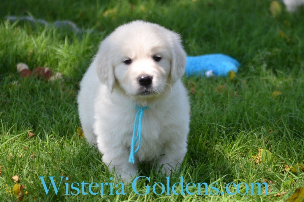 Teal Girl  6 weeks Angel-Ego born 4-27-2015 2 girls and 4 boys. English Cream Golden Retriever Puppies. Teal Girl is a cuddle bug.  She is a sweet, affectionate, playful girl.  She enjoys playing with her toys.  She has a nice blocky head and light in color.  She has mid-range energy.  She weighs 8.6 lbs.