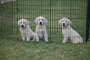 English Cream Golden Retriever Crate Training