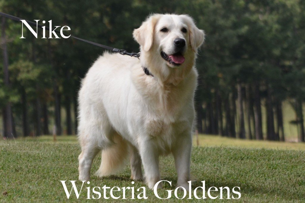 English Cream Golden Retriever Nike Love Me From Mariannehouse Nike the Old Soul Wisteria Goldens