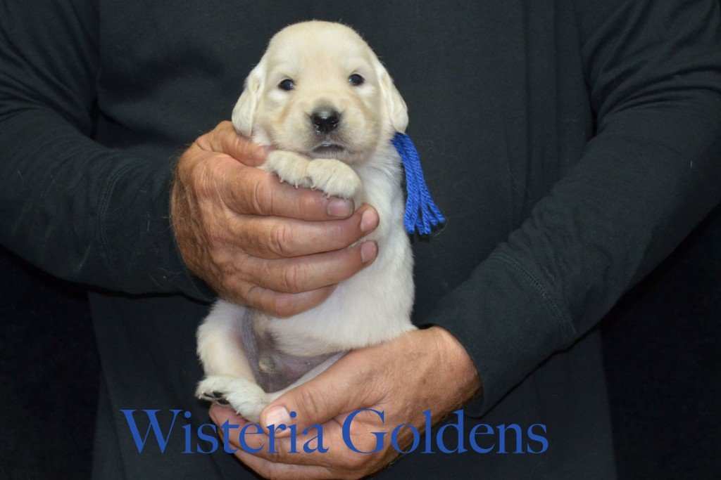 Blue Boy - 3.4 lbs Sunny and Ego Litter Born 06-04-2015 6 girls and 2 boys. English Cream Golden Retriever Puppies For Sale Information