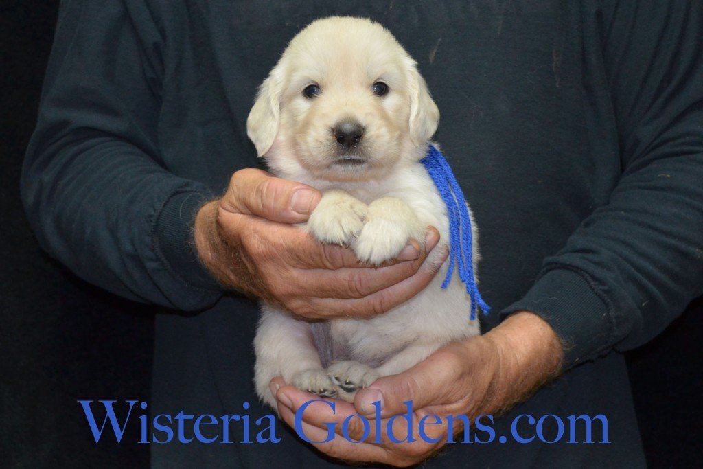 Blue Boy - 4.2 lbs 6-4-15 Sunny-Ego litter born 6-4-2015 English Cream Golden Retriever puppies for sale. 4 weeks pictures.