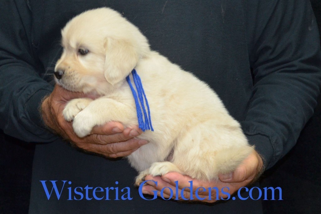 Blue Boy - 5.4 lbs 5 weeks pictures Sunny and Ego Litter born 6-4-2015 English Cream Golden Retriever puppies for sale