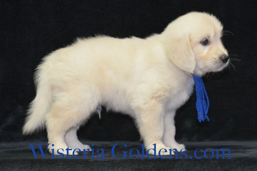 Blue Boy Sunny and Ego litter born 6-04-15 6 Weeks pictures English Cream Golden Puppies for sale