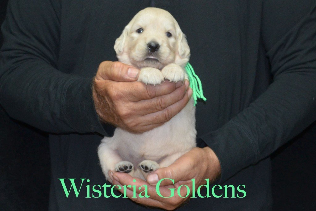 Lime Girl - 4.0 lbs Sunny and Ego Litter Born 06-04-2015 6 girls and 2 boys. English Cream Golden Retriever Puppies For Sale Information