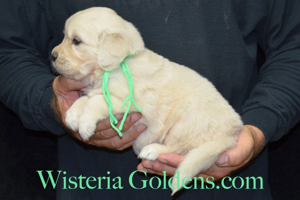 Lime Girl - 4.6 lbs 6-4-15 Sunny-Ego litter born 6-4-2015 English Cream Golden Retriever puppies for sale. 4 weeks pictures.