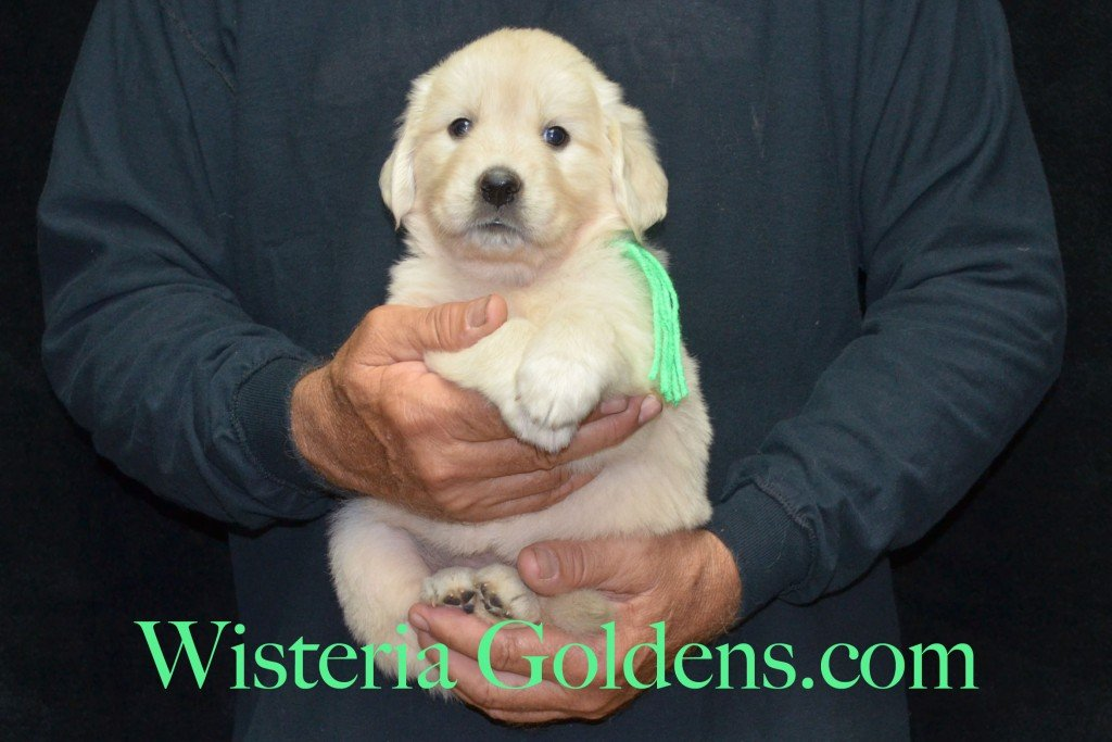 Lime Girl - 5.8 lbs 5 weeks pictures Sunny and Ego Litter born 6-4-2015 English Cream Golden Retriever puppies for sale