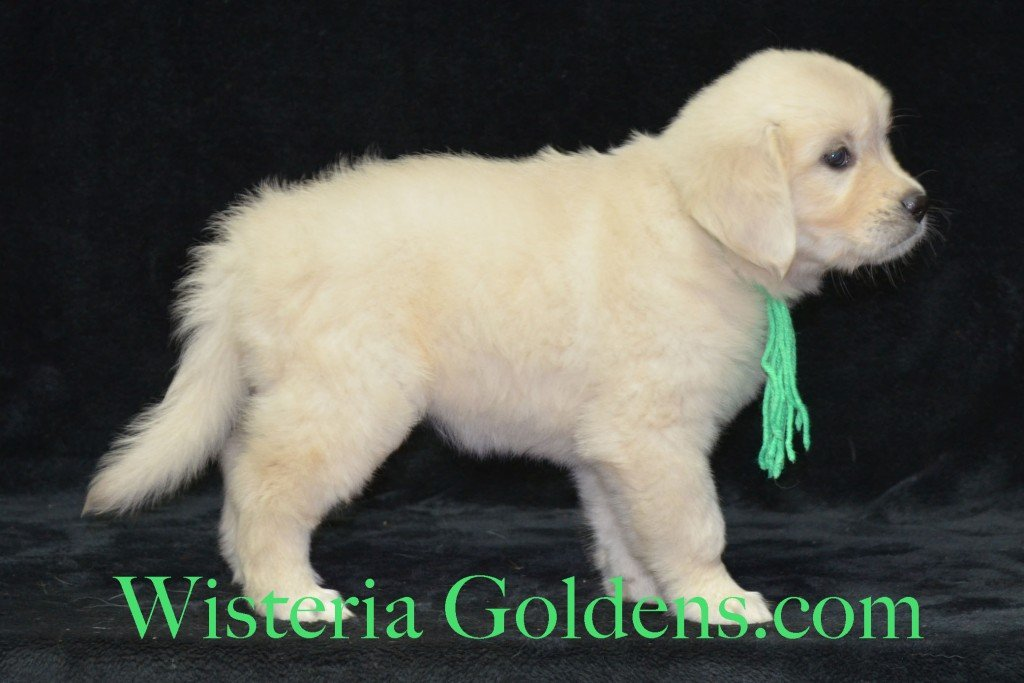Lime Girl Sunny and Ego litter born 6-04-15 6 Weeks pictures English Cream Golden Puppies
