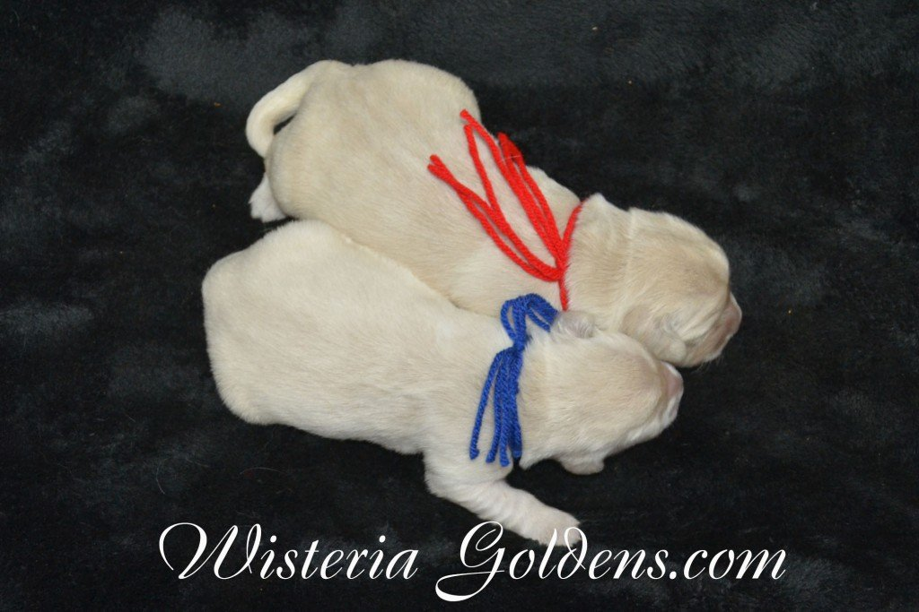 The Boys Sunny and Ego Litter Born 06-04-2015. 6 girls and 2 boys. English Cream Golden Retriever Puppies For Sale Information and puppy pictures WisteriaGoldens.com